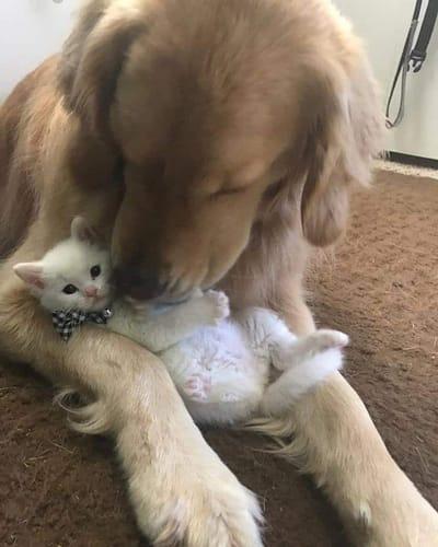 Golden Retriever y gato