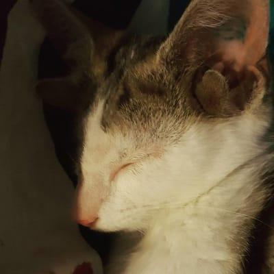gato 4 orejas fotos