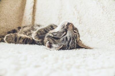 gato acostado sobre su panza