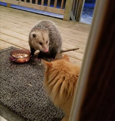 gato descubre zarigüeya