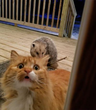 reaccion gato encuentra zarigüeya comida