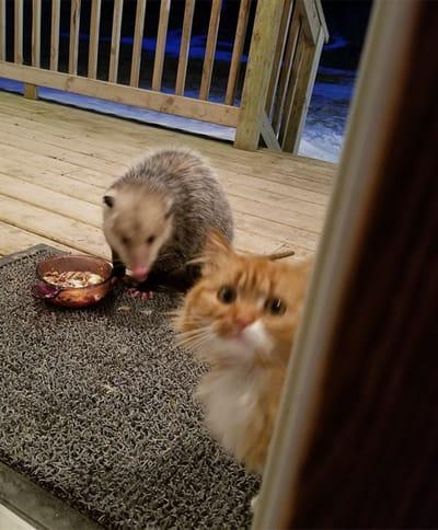 gato encuentra zarigüeya comida