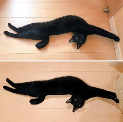 gato contorsionista