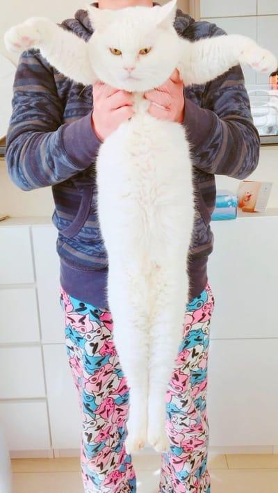 gato tan largo como un humano