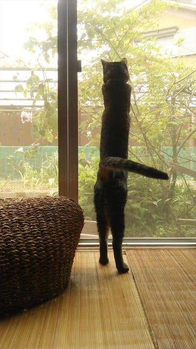 gato enorme mirando por la ventana