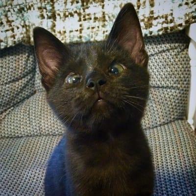 gatito negro enfermedad congenita