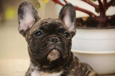Cani-da-compagnia-Bulldog-francese