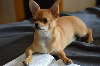 Cani-da-compagnia-chihuahua