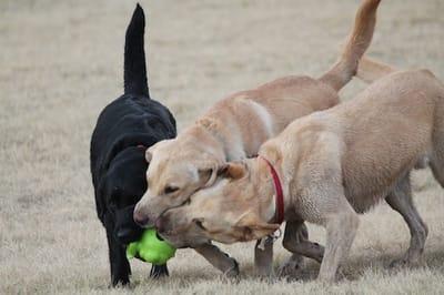 cani che mordono palla da tennis