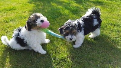 cuccioli di cane che giocano in giardino
