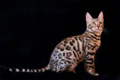 Razza-Bengala-incrocio-leopardo.