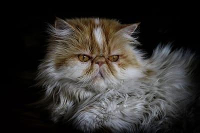 gatto-persiano
