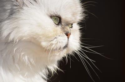 Gatto-persiano-dal-manto-bianco
