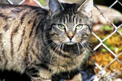 gatto-europeo