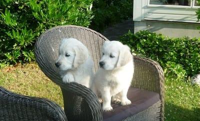 cuccioli di golden retriever su poltrona