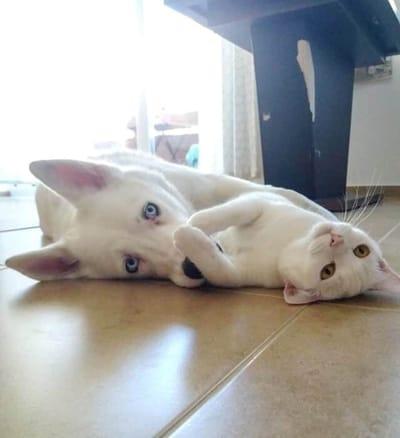 ojos azules y ambar perro y gato