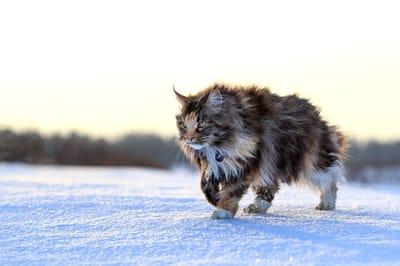 Gatti-razza-Maine-Coon