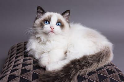 Cucciolo-di-gatto-Radgoll