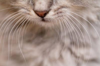 vibrisse baffi del gatto