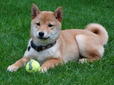 cane con pallina da tennis