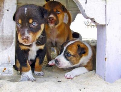 cuccioli di cane nascosti per gioco
