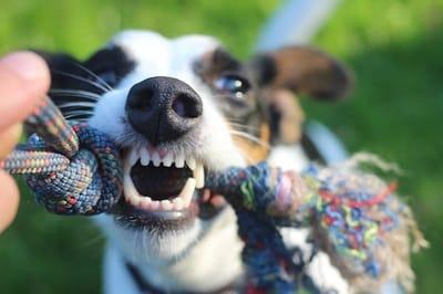 cane che gioca tirando una corda