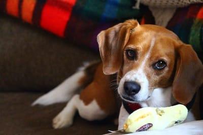 cane disteso su un divano