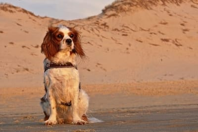 cane sulla sabbia davanti al mare