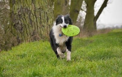 Cane con frisbee in bocca