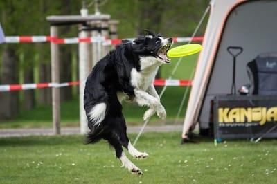 Cane che afferra al volo un frisbee