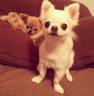adoptar chihuahua enfadado