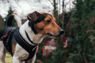 Is a harness a better choice for a dog than a collar?