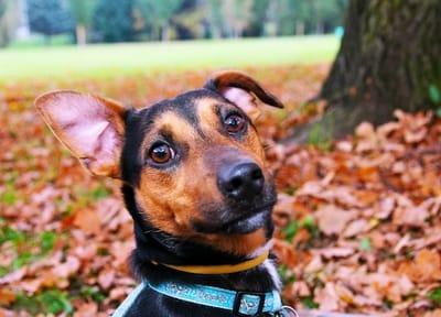 antipulci naturale per cani