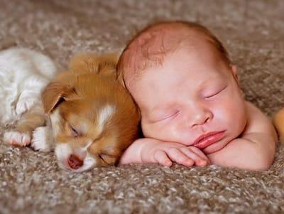 adoptar chihuahua cachorro