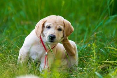 cane con le pulci