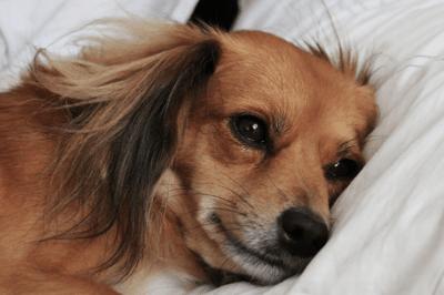 Sleepy and tired dog