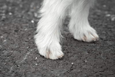 Dog toe nail problems causing limping