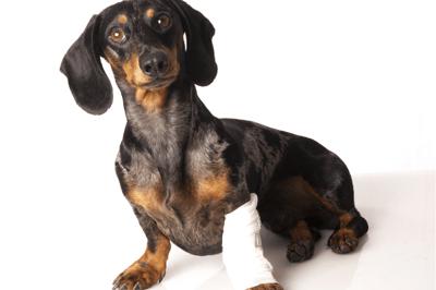 Dog front leg injury limping