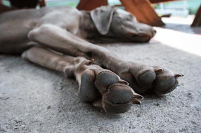Dog front leg injury causes limping