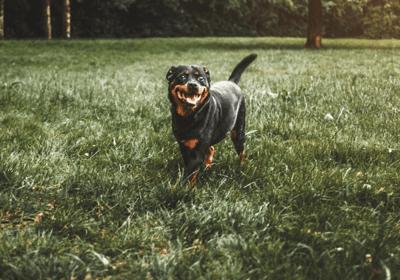 best guard dog breeds