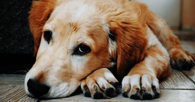 dog cancer lumps