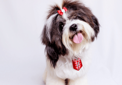 toy long haired dogs breeds