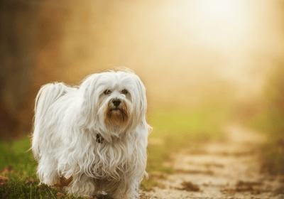 small dogs with long hair