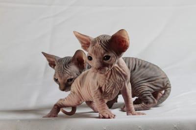 gato esfinge bebe