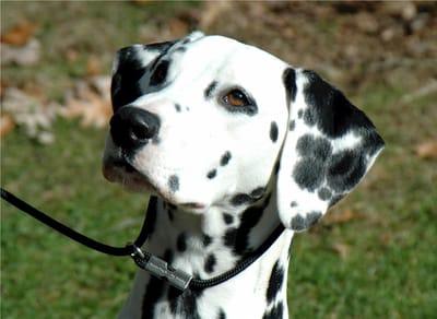 perros blancos y negros dalmata