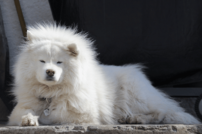 The top 10 of big fluffy dogs