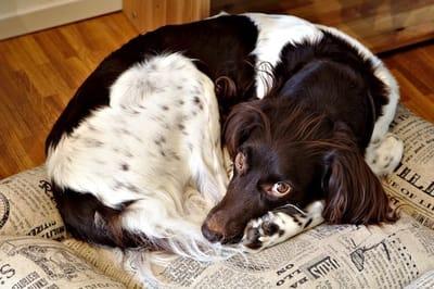 cane che dorme arrotolato su se stesso