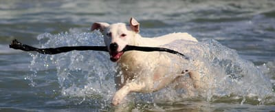 Keep your dog healthy to lessen the chances of elbow dysplasia.