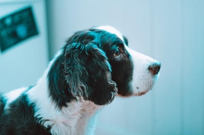 Mast cell tumours in dogs are common.