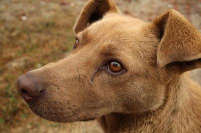 How does a dog get pancreatitis?
